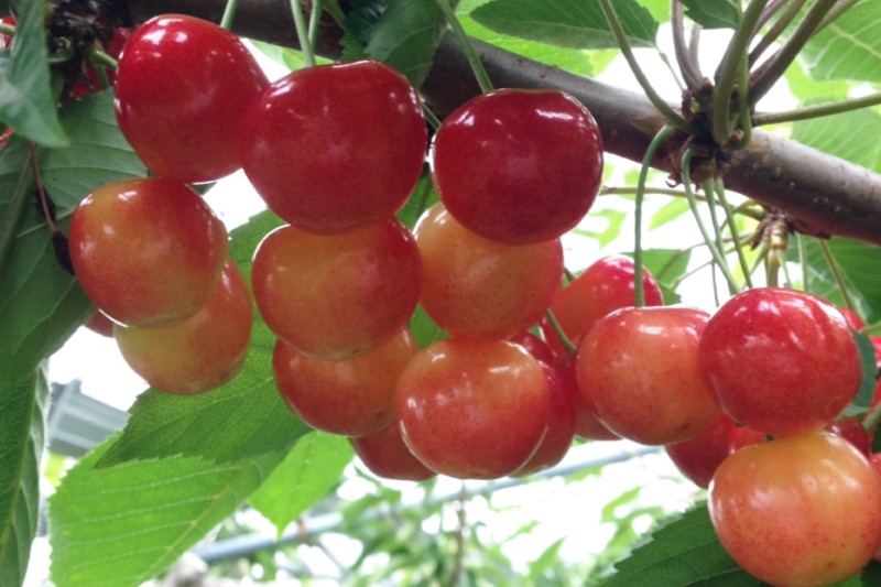 Experience a drive around Lake Toya and cherry-picking
