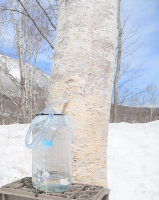 Experience coffee brewed with white birch sap