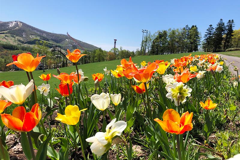 春の陽気に花開くルスツ。カラフルな季節の始まりです