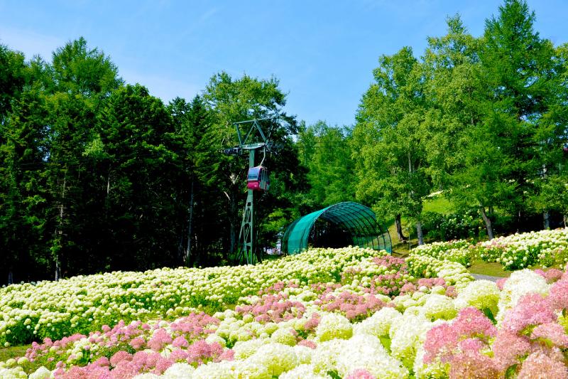 秋が近づくルスツ。白やピンクのお花「アナベル」が満開です!