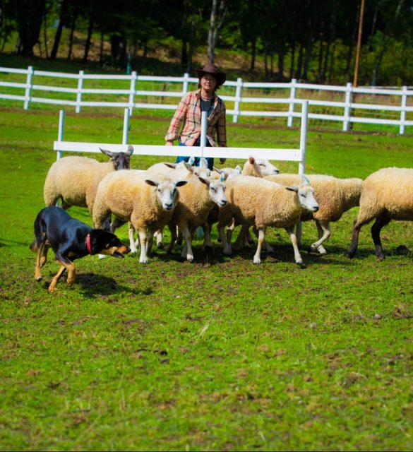 牧羊犬赶羊表演