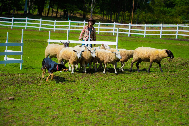 Sheepdog Show
